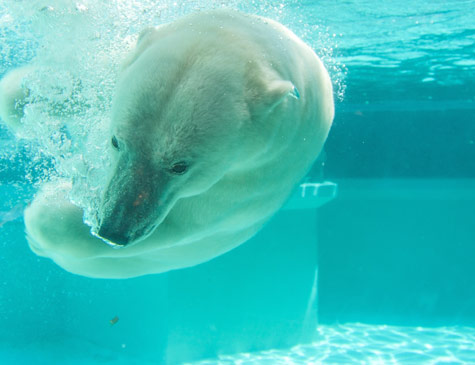 Polar bear underwater at the Lincoln Park Zoo